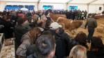 Изложба приплодних говеда сименталске расе у Крушевцу